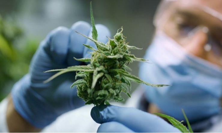 Close up image of laboratory worker holder up cannabis plant