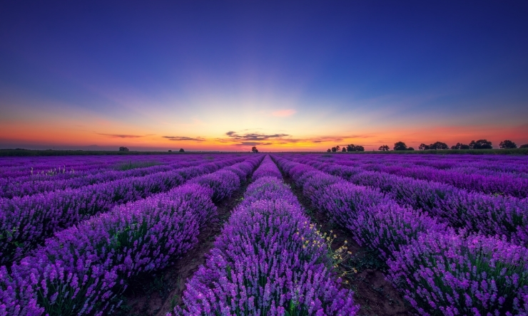 Image of blooming lavender fields in rows and rows, and a sunset sky