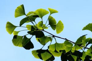 Large, fan-like Gingko Biloba leaves against a clear blue sky